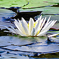 Single White Lotus by Art Dingo