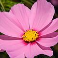 Singular Pink Cosmos by Nicki Bennett