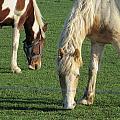 Sister Horses by Tina M Wenger