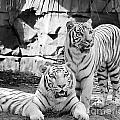 Sisters Black And White by Ken Frischkorn