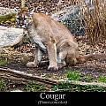 sitting Cougar by Chris Flees