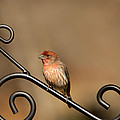 Sitting Pretty Red House Finch by Kathy Clark