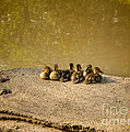 Six Ducklings In A Row by Mary  Smyth