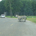 Six Flags Great Adventure - Animal Park - 121248 by DC Photographer