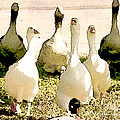 Six Geese And A Duck by Artist and Photographer Laura Wrede