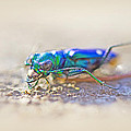 Six-spotted Tiger Beetle - Cicindela Sexguttata by Mother Nature