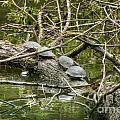 Six Turtle On A Log by M Dale