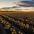 Skagit Daffodils Sunset Sunstar by Mike Reid