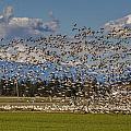 Skagit Snow Geese Liftoff by Mike Reid