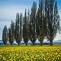 Skagit Trees by Inge Johnsson