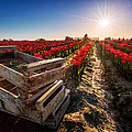 Skagit Valley Tulip Festival by Alexis Birkill