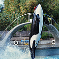 Skana Orca Vancouver Aquarium 1974 by California Views Archives Mr Pat Hathaway Archives