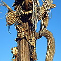 Skeleton Of A Saguaro Tree by Selma Glunn