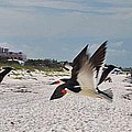 Black Skimmers At Don Cesar by George D Gordon III