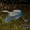 Skimming Great Heron by Stephen Whalen