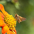 Skipper Butterfly On An Orange Flower by Brandon Alms