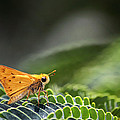 Skipper Butterfly On Mimosa Leaf by Jason Politte