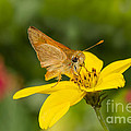 Skipper In The Flowers by Mimi Ditchie