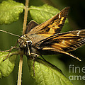 Skipper Moth by Phil McCollum