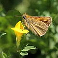 European Skipper On Bird's-foot Trefoil by Doris Potter