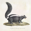 Skunk by British Library