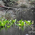 Skunk Cabbage Blooming In Washington State Forest  4 by Tanya  Searcy