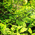 Skunk Cabbage Thicket by Mother Nature