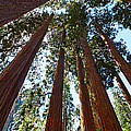 Skyscrapers - A Grove Of Giant Sequoia Trees In Sequoia National Park In California by Jamie Pham