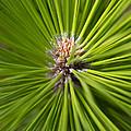 Slash Pine Needles 2 by Arthur Dodd