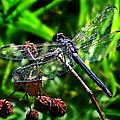 Slaty Skimmer Dragonfly by William Tanneberger