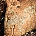 Sleeping And Smiling Pig by Sarah  Cafaro