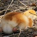 Sleeping Chick by Zina Stromberg