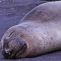 Sleeping Elephant Seal - Isla Guadalupe Mexico by Captain Chris Wade