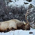 Sleeping Elk by Michael Chatt