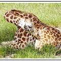 Sleeping Giraffe by Alice Gipson