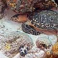 Sleeping Hawksbill Sea Turtle by Thomas Major