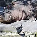 Sleeping Hippo by Linda Kerkau