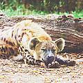 Sleeping Hyena by Pati Photography