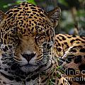 Sleeping Jaguar by Liz Masoner