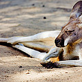 Sleeping Kangaroo by Pati Photography