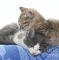 Sleeping Kittens by Michelle Powell