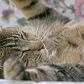 Sleeping Kitty by Sharon Talson