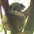 Sleeping Koala In Tree by Mary J Tait