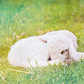 Sleeping Lamb Green Hue by Pati Photography