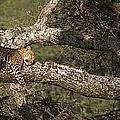 Sleeping Leopard by J L Woody Wooden