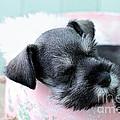 Sleeping Mini Schnauzer by Stephanie Frey