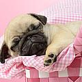 Sleeping Pug In Pink Basket by Greg Cuddiford