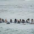 Sleeping Seals by Bill Wakeley
