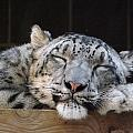Sleeping Snow Leopard by Caryl J Bohn