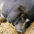 Sleeping Sow by Mary Deal
